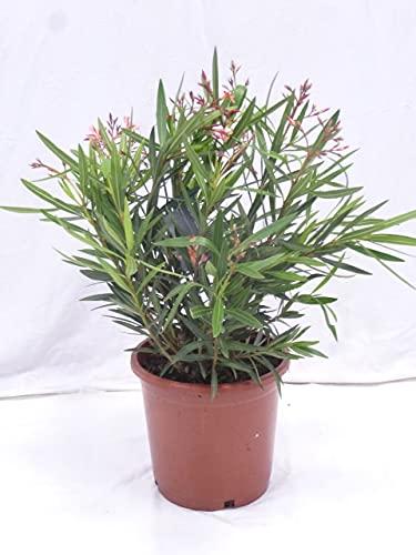 [Palmenlager] - Oleander 80 cm -Busch - Lachs - Nerium oleander -...