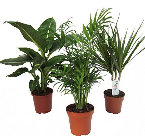 Dominik Blumen und Pflanzen, Zimmerpflanzen Set aus 1x Diefenbachie,...