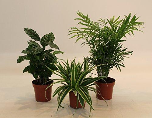 Dominik Blumen und Pflanzen, Indoor-Trio - Kaffee-Pflanze Coffea...