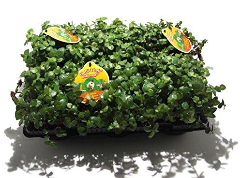 6 x Golliwoog - Futterpflanze für Bartagamen, Vögel ,...