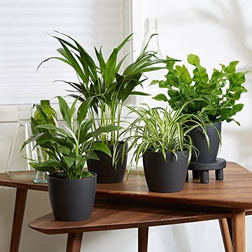 4er Set Luftreinigende Zimmerpflanzen   Vier Grünpflanzen mit Topf  ...