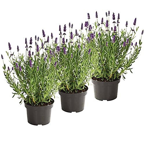 UNUS Garden Echter Lavendel Pflanze Lavandula Angustifolia Set...