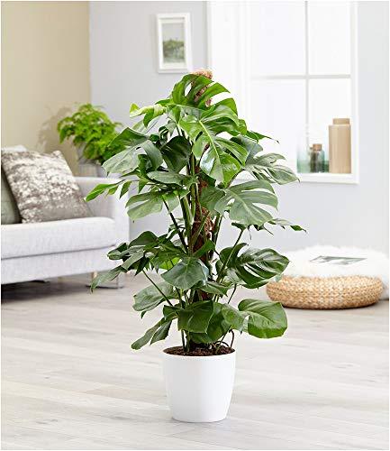 BALDUR Garten Monstera - Fensterblatt ca. 50 cm hoch, 1 Pflanze...
